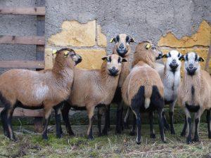Schafe in Steuden